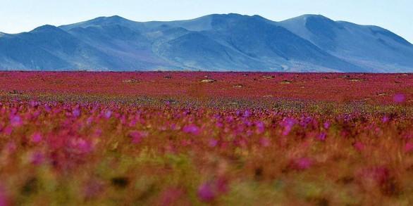 Deşertul Atacama înflorit.PNG1