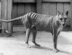 (VIDEO) Un animal dispărut acum 80 de ani va fi clonat