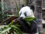 (VIDEO) Basi, cel mai în vârstă urs panda din lume, a împlinit vârsta de 37 de ani