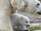(FOTO) Grădina zoologică din Munchen are o nouă vedetă: Un pui de urs polar a topit inimile vizitatorilor