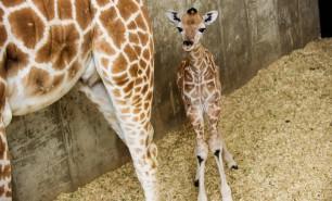(VIDEO) Un pui de girafă s-a născut, în văzul lumii, la New York. Mii de oameni au urmărit online evenimentul