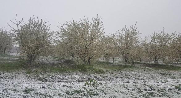 Deputat: Zăpada a compromis practic 100% din roada de struguri și fructe. Pierderile vor fi de milioane