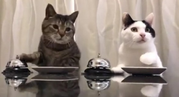 """(VIDEO) Imagini extrem de amuzante: Cum """"îşi dresează"""" două pisici stăpânul să le aducă de mâncare"""