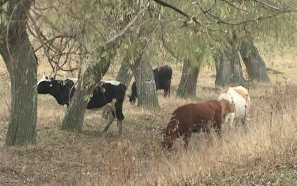 Banca de Economii vinde bovine: Aceasta propune 20 de vite mulgătoare