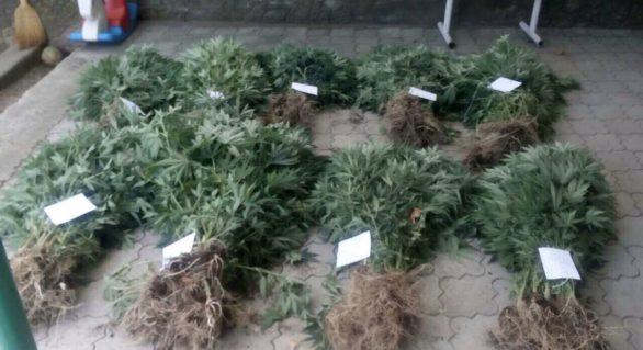 """Cultivau droguri în proporții deosebit de mari, în propria grădină; """"Afacere"""" de familie, deconspirată"""
