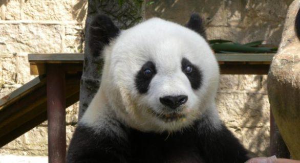 Cel mai bătrân panda în captivitate a murit la 37 de ani