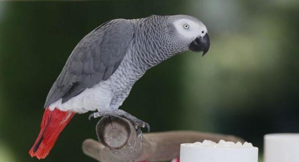 (VIDEO) Un papagal a reușit să plaseze o comandă pe Amazon, după ce a imitat vocea stăpânei sale