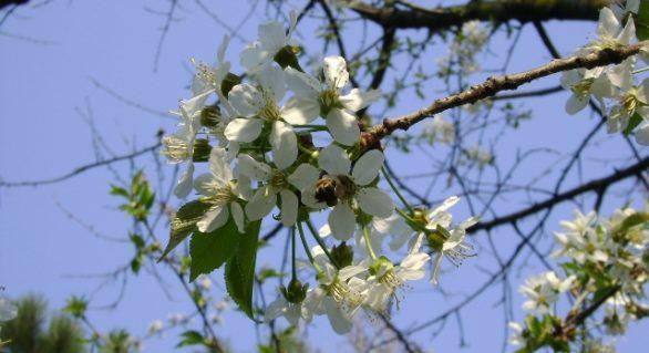 (FOTO) În sud-estul României au înflorit cireșii și liliacul