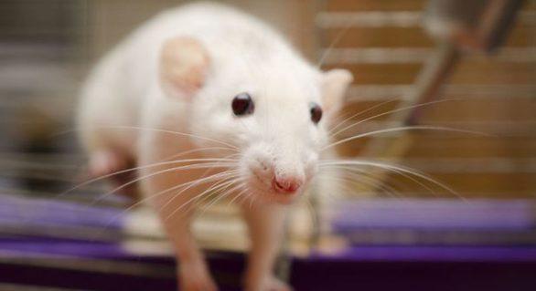 """Un grup de cercetători a implantat """"mini-creiere"""" în rozătoare, iar efectele ulterioare au fost uimitoare"""