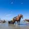 (VIDEO) Tradiţii exotice incluse în patrimoniul UNESCO: Singurul loc din lume unde creveţii sunt pescuiţi cu ajutorul cailor