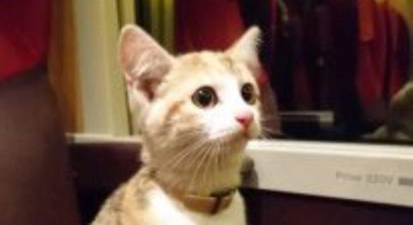 O pisică pierdută a reuşit să se întoarcă la stăpână de una singură cu trenul