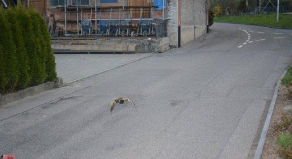 O rață sălbatică a depășit limita de viteză dintr-un orășel elvețian. Ce amendă ar fi primit dacă ar fi fost om
