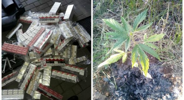 Moldoveni cercetați penal pentru cultivarea și îngrijirea cânepei, precum și tentativă de contrabandă cu țigări