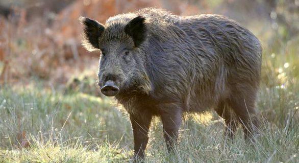 """Mistreții care vor trece frontiera moldo-ucraineană vor fi """"întorși din drum"""". Păscutul porcilor la frontieră, interzis"""