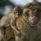 De unde provine vorbirea umană? Studiile pe maimuțe oferă un indiciu