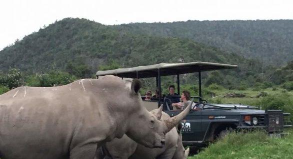 Doi braconieri de coarne de rinocer au fost devorați de lei, într-o rezervație din Africa de Sud