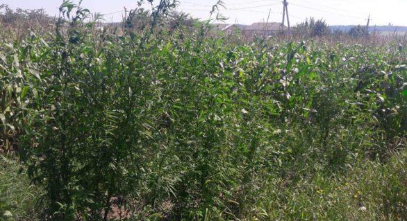 Plante de cânepă depistate pe un lot cu porumb în comuna Trușeni. Ce riscă proprietarul de 33 de ani