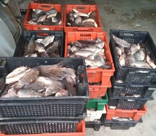 Peste jumătate de tonă de pește proaspăt, confiscat de oamenii legii. Șoferul n-a putut prezenta niciun act pentru marfă