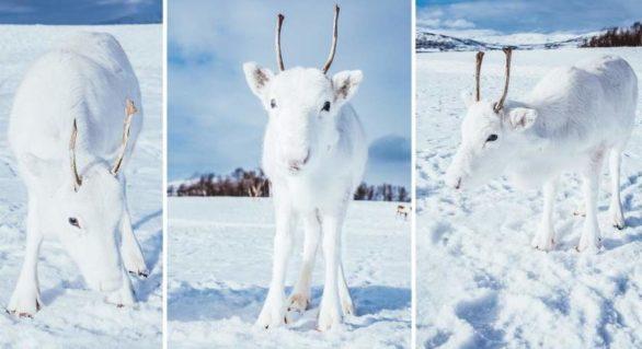 (FOTO) Un pui de ren alb ca zăpada, foarte rar întâlnit, fotografiat în Norvegia